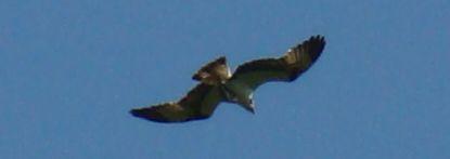 Osprey-Watch