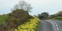 wordsworth daffodils