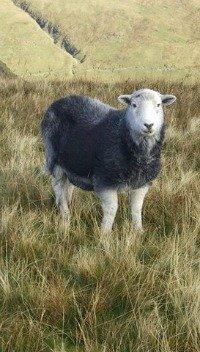 Beatrix Potter Herdwick Sheep