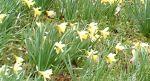 daffodil walk nr kendal