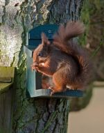 Red squirrel feeder at caravan park - adults only